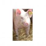 kiaulė su RFID